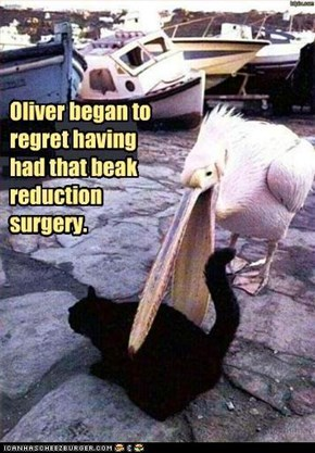Oliver began to regret having had that beak reduction surgery.