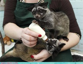 2 baby Asian Palm Civets being hand reared