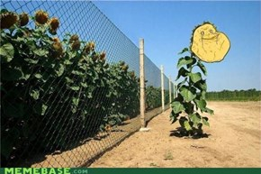 Forever Alone Sunflower