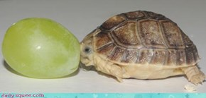 Little Tortoise, GIANT SQUEE!