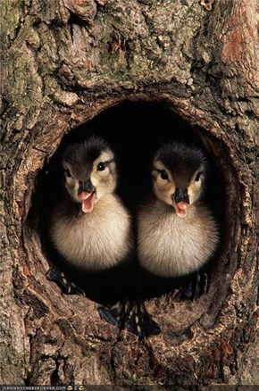 Silly ducklings what are you doing in a tree?