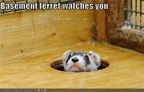 Basement ferret watches you