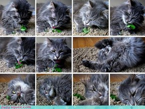 The Stages of Catnip