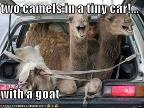two camels in a tiny car!...  with a goat