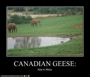 CANADIAN GEESE: