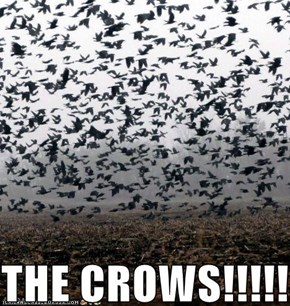 THE CROWS!!!!!!!!!