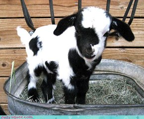 Goat in a Bucket!