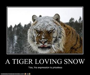 A TIGER LOVING SNOW
