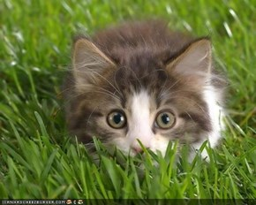 Cyoot Kitteh ob teh Day: Iz in teh Grass; U Cant Seez Meh!