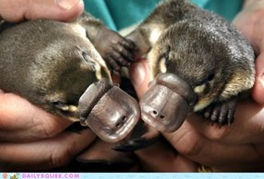 Squee Spree: A Perfect Platypus Pair