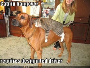 Catnip hangover  requires designated driver
