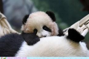 Squee Spree: Panda Peekaboo!