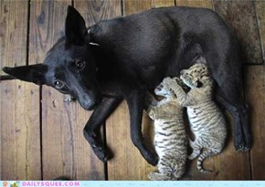 Dog Becomes Surrogate Mother to Two Baby Ligers