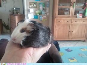 little hand guinea pig