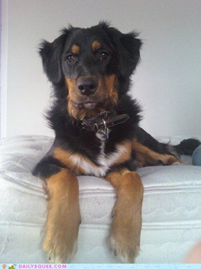 Rukus, my beautiful Rotweiller, Australian Shepherd, Collie, Beagle, Black Lab mix
