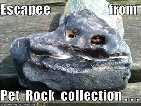 Escapee                     from  Pet  Rock  collection . . .
