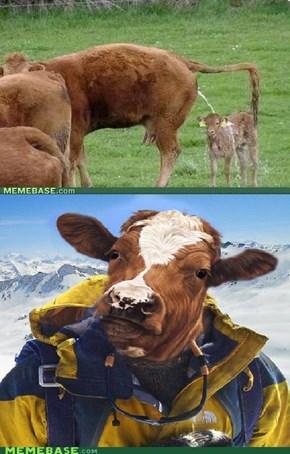 Cow Grylls
