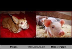 This dog Totally Looks Like This nosey piglet