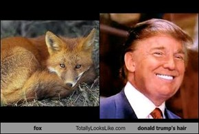 fox Totally Looks Like donald trump's hair