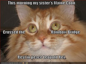 This morning my sister's Maine Coon  Crossed the                               Rainbow Bridge Rest in peace Leopold Rex.