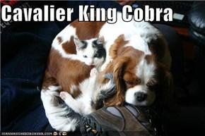 Cavalier King Cobra