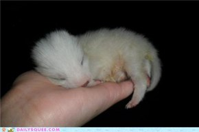 This is one of the 1 week old baby Polar Foxes that I am helping raise! I just got done feeding and burping him and he curled into one hand and fell asleep.