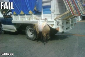 Sheep Transportation FAIL
