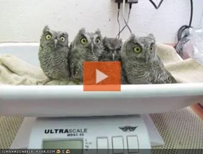 VIDEO: Adorable Baby Screech Owls