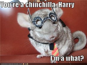 You're a chinchilla, Harry  I'm a what?