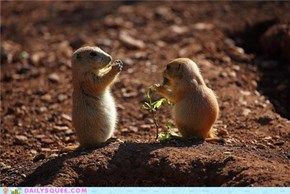 Squee Spree: Prairie Dogs Vs. Marmots!