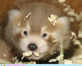 Month-Old Red Panda Cub. You're Welcome!