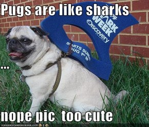 Pugs are like sharks ... nope pic  too cute