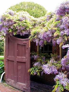 Wisteria on a Garden Fence