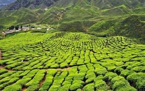 Tea Fields, Ringlet, Malaysia
