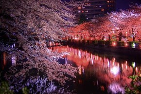 Night Sakura, Japan