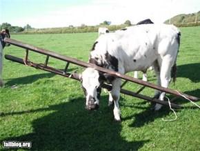 Cow Fail