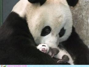 Panda Panda Pand'awwwwwww!