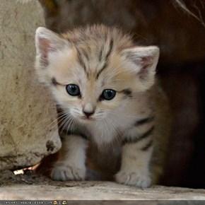 Rare Sand Kitten