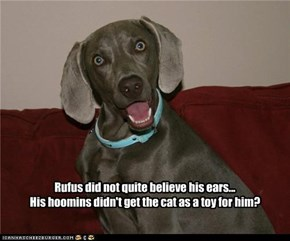 Rufus did not quite believe his ears... His hoomins didn't get the cat as a toy for him?
