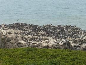 Penguins in Newport, OR