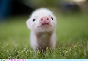 Classic Squee: That'll Do, Pig