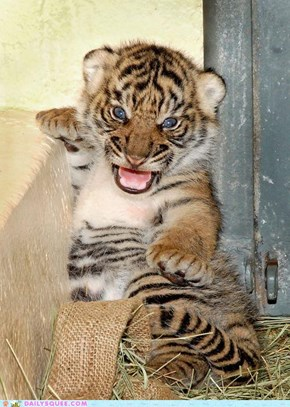 L.A. Zoo Welcomes Sumatran Tiger Cubs