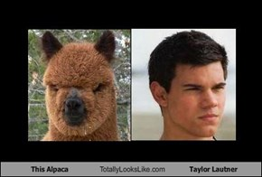 This Alpaca Totally Looks Like Taylor Lautner