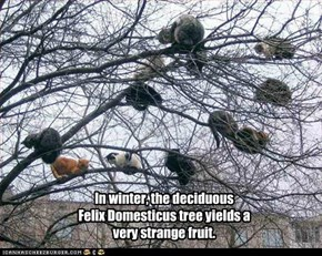 In winter, the deciduous  Felix Domesticus tree yields a very strange fruit.