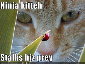 Ninja kitteh  Stalks hiz prey