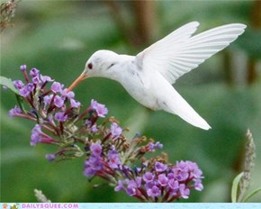 Stunning Photos of a Rare Albino Hummingbird