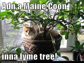 Adn a Maine Coon  inna lyme tree!
