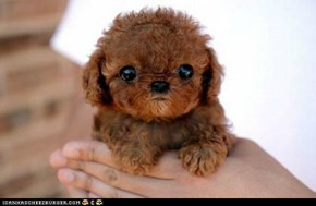 teddy bear and dog hybrid