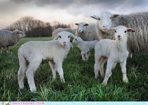 Dutch Lambs in the Morning