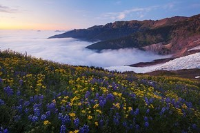Wildflowers on Mount Baker, Whatcom County, Washington
